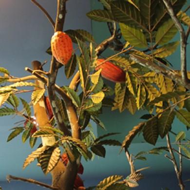 Plantação do Cacau (8)
